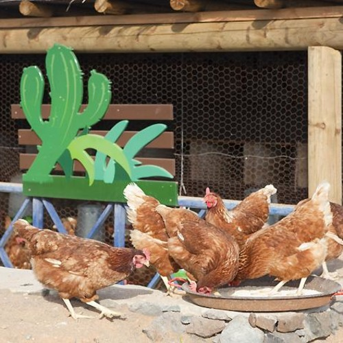 Lanzarote Retreats Chickens
