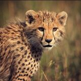 Did you know there are only around 7000 cheetahs left in the wild? If you want to help protect these amazing animals and have a chance of seeing them