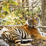 Were you inspired by @BBCEarth #Dynasties this week? If you want to see tigers in the wild check out our listing in Bandhavgarh and visit Raj Bhera fo